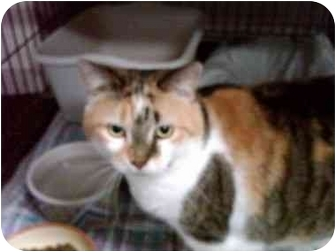 Domestic Shorthair Cat for adoption in Erie, Pennsylvania - Gwyneth