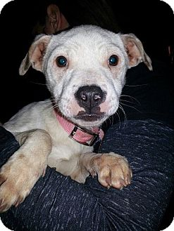 Jack Russell Terrier/Patterdale Terrier (Fell Terrier) Mix Puppy for adoption in East Rockaway, New York - Sparkle