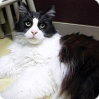 Adopt A Pet :: Purrsey - Alexandria, VA