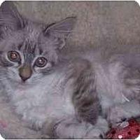 Adopt A Pet :: Cosette - Arlington, VA