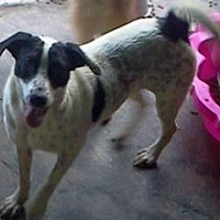 Pointer Mix Dog for adoption in Ringoes, New Jersey - Addie