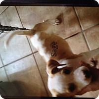 ... Bay, FL - Jack Russell Terrier/Chihuahua Mix. Meet Sage a Puppy