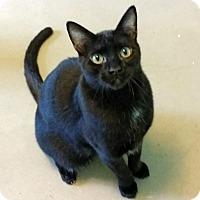 Adopt A Pet :: Fezzik - Edmond, OK