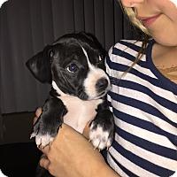 Adopt A Pet :: Kelly Kapowski - San Diego, CA