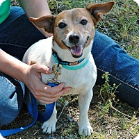 Jack Russell Terrier Dog for adoption in Blue Bell, Pennsylvania - Regan