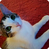 Domestic Shorthair Cat for adoption in Mission Viejo, California - Lollipop