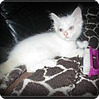 Adopt A Pet :: Tiki - Gilbert, AZ