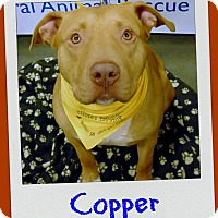 American Pit Bull Terrier Dog for adoption in Columbia, Tennessee - Copperhead