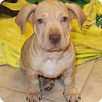 Adopt A Pet :: Alfie - Towson, MD