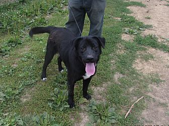 Labrador Retriever Mix Dog for adoption in Walthill, Nebraska - Jeremy