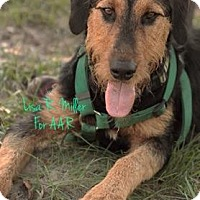 Airedale Terrier Dog for adoption in Freeport, Florida - Aldin