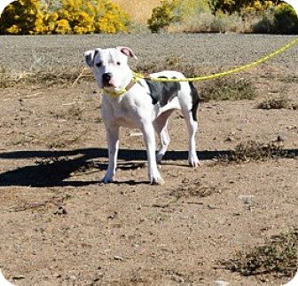 Pit Bull Terrier/American Bulldog Mix Dog for adoption in Gardnerville, Nevada - Jules