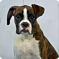 Boxer Puppy for adoption in St. Louis Park, Minnesota - Adrian  - No Longer Accepting Applications 10/17
