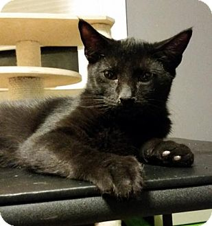 Domestic Shorthair Cat for adoption in Philadelphia, Pennsylvania - Dominic