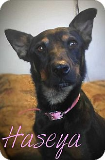 Cattle Dog/Basenji Mix Dog for adoption in Denver, Colorado - Haseya