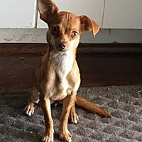 Adopt A Pet :: Twiggy - Dallas, TX