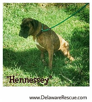 Boxer Dog for adoption in Seaford, Delaware - Hennessey