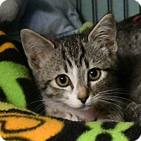 Domestic Mediumhair Kitten for adoption in Tomball, Texas - Mackenzie