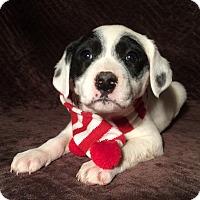 Adopt A Pet :: Holly - SOUTHINGTON, CT