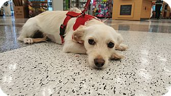 Spaniel (Unknown Type)/Terrier (Unknown Type, Small) Mix Dog for adoption in Monrovia, California - Feliz