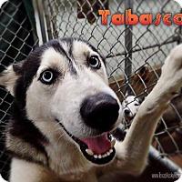 Adopt A Pet :: Tabasco--Foster needed!/Coming soon! - Carrollton, TX