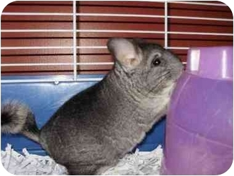 Chinchilla for adoption in Fleetwood, Pennsylvania - Polamalu