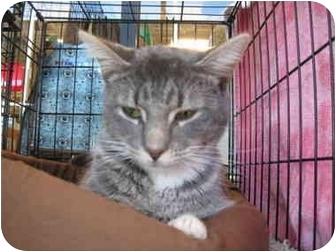 Domestic Shorthair Cat for adoption in Easley, South Carolina - Elmo
