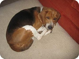 Beagle Mix Dog for adoption in Phoenix, Arizona - Trini