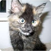 Adopt A Pet :: Lady Sander - Shelton, WA