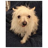 Adopt A Pet :: Cream - Livermore, CA