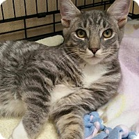 Domestic Shorthair Cat for adoption in Walworth, New York - Mino- Special Needs