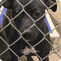Adopt A Pet :: Maple - Doylestown, PA