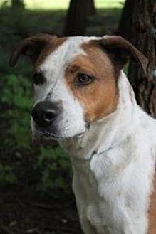 American Bulldog Mix Dog for adoption in Yukon, Oklahoma - Maverick