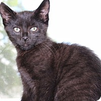 Domestic Shorthair Kitten for adoption in Berkeley Hts, New Jersey - Luke