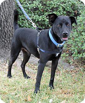 Labrador Retriever Mix Dog for adoption in Houston, Texas - Roofus