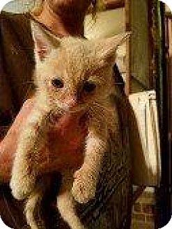 Domestic Shorthair Kitten for adoption in Hampton, Virginia - PIKACHU