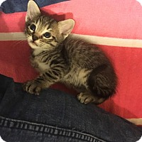 Domestic Shorthair Kitten for adoption in Austin, Texas - Ram