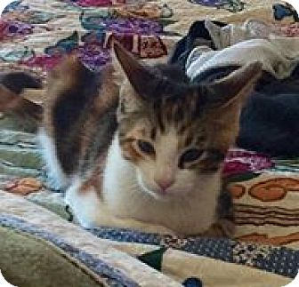 Calico Kitten for adoption in Walnut Creek, California - Hip and Hop