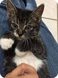 American Shorthair Kitten for adoption in Toms River, New Jersey - Roxy