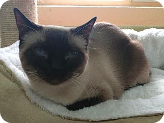 Siamese Kitten for adoption in Las Cruces, New Mexico - Chinda
