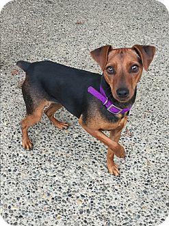 Miniature Pinscher Mix Dog for adoption in Auburn, Washington - Shantilly
