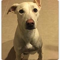 Adopt A Pet :: Cindy - Queen Creek, AZ
