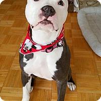 Adopt A Pet :: Athena - Bronx, NY