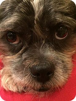 Shih Tzu/Terrier (Unknown Type, Medium) Mix Dog for adoption in Tomball, Texas - Carlo