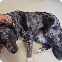 Adopt A Pet :: Calamity - Las Vegas, NV