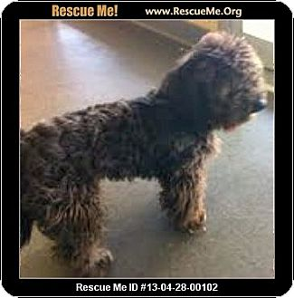 Schnauzer (Miniature)/Poodle (Miniature) Mix Dog for adoption in Boulder, Colorado - Sinclair