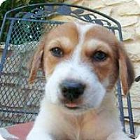 Adopt A Pet :: Benny Boo - Austin, TX