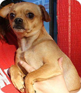 Chihuahua/Pug Mix Dog for adoption in Joplin, Missouri - Little Bit