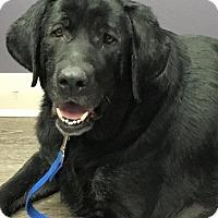 Adopt A Pet :: Bear - Charleston, SC