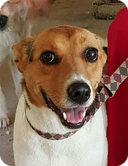 Parson Russell Terrier/Labrador Retriever Mix Dog for adoption in Yardley, Pennsylvania - Julie B W